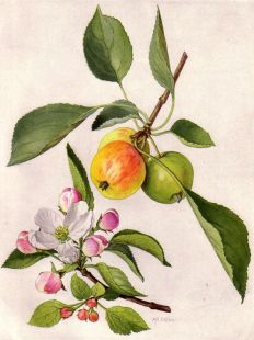 800px-Apple_and_Blossom_(NGM_XXXI_p501)
