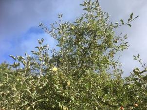 appeloogst - 1