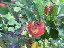 appeloogst - 12