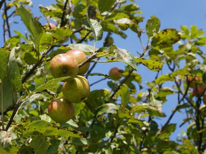 Malus_sylvestris_fruit,_Vosseslag