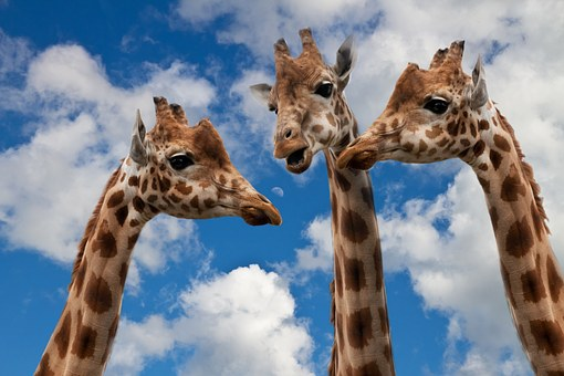 giraffes-627031__340
